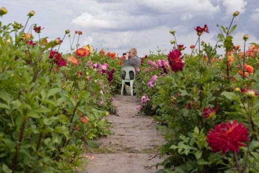 Famflowerfarm dahlia velden - foto's - lossebloemen-21