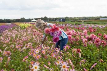 Famflowerfarm dahlia velden - foto's - lossebloemen-217
