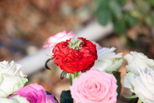Van berg RoseS - binnenkijker lossebloemen.nl Rozen kwekerij Avalanche