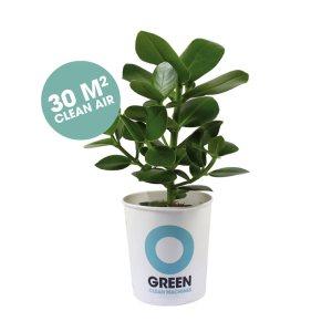 champ Plant Varkensboom (Clusia rosea Princess) 30 m2 schone lucht. lucht zuiverende plant, Plaats de Champ