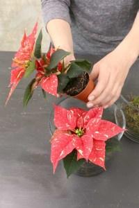 Stralende sterren in November, Kerststerren als mini plant POINSETTIA - LOSSE BLOEMEN BLOG