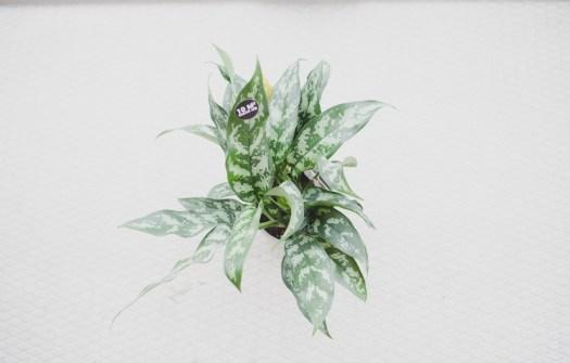 4. CLEAN MACHINE: SURVIVOR – AGLAONEMA MARIA Dit is zo'n plant wanneer je denkt ' PIIEEEEEP ik had nog een plant, en die heeft misschien ook een beetje water nodig.. moment' hij nog perfect staat (lees nog te redden valt :)) Deze Ogreen SURVIVOR dankt zijn naam aan het prachtige groene blad met camouflageprint. Deze plant is een 'easy care' Clean Machine. Hij is super sterk en makkelijk. Van origine komt de Aglaonema Maria (blij dat we geen Latijns dagelijks uitspreken ;') voor in Zuid-Oost Azië. De plant groeit daar als onderbeplanting in tropische regenwouden (hallo Urban Jungle). Een lichte standplaats kan deze kamerplant dan ook waarderen, maar felle zon is hij niet gewend. Deze leuke plant zuivert de luchtvan 10 vierkante meter!