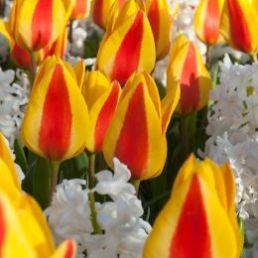 Mix nu bloembollen voor kleur in het voorjaar bollen planten
