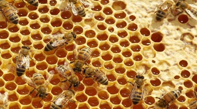 Api che producono miele