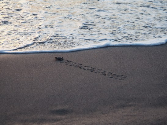 Circle of life! Baby turtle hits the waves. So tiny!!