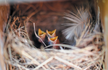 Three bluebird chicks in a nest. Mouth wide open. Eyes still closed. Recently hatched.