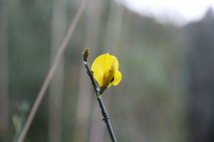 a single yellow flower with bokeh
