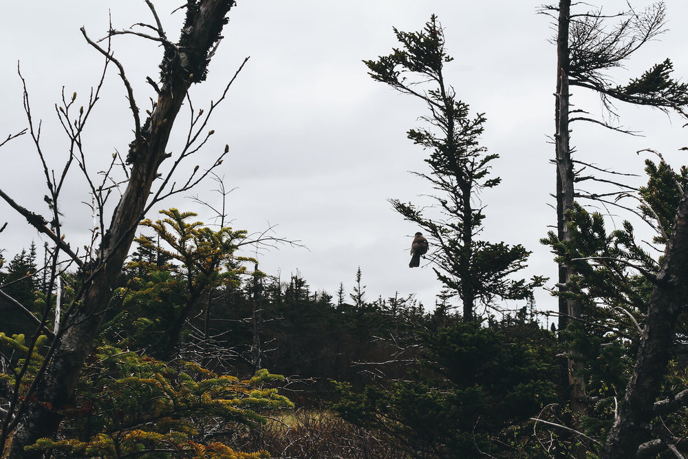 Photo of Gros Morne Nation Park in northeastern Canada. A small white and brown bird sits perched on the branch of a pine tree off of a trail.