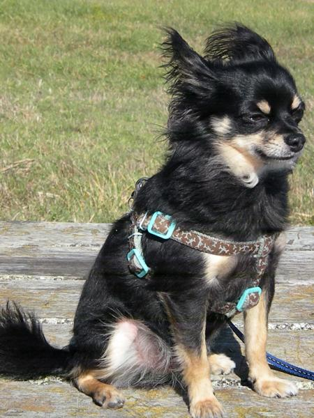 Lost Moslty Black Then Tri Colored ChihuahuaLONG HAIR
