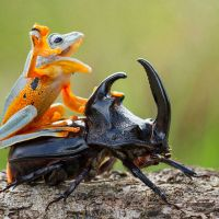 Frog Befriends Rhinoceros Beetle