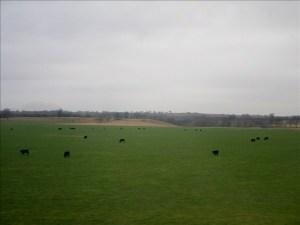 Cows !