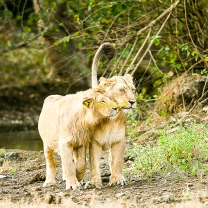 The Pride Of Gir Sasan – Gujrat