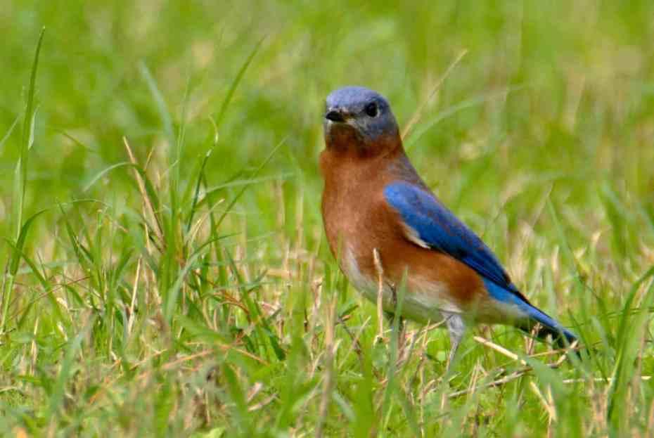 Eastern Bluebird at Little Piney, Bastrop, TX