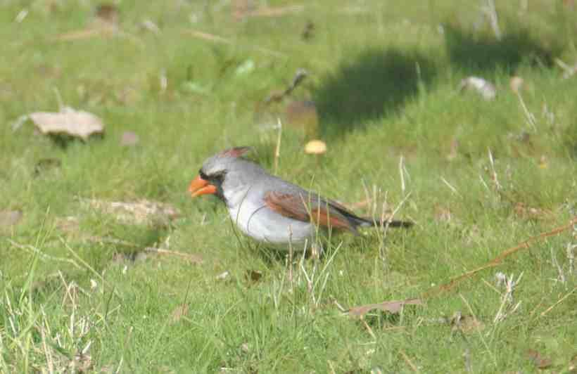 Female Luecistic Northern Cardinal, non-phaeomelanic