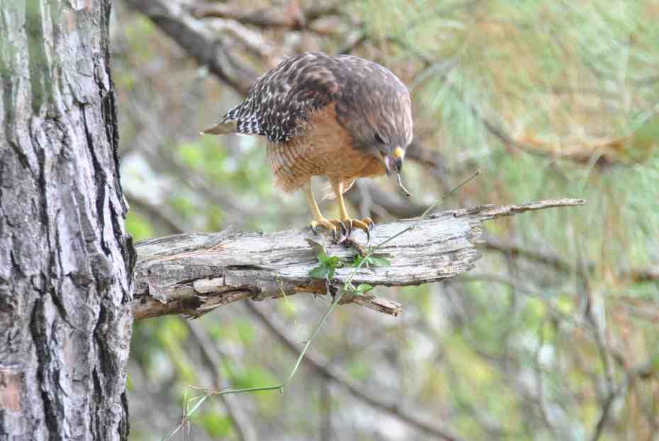 Red-shouldered Hawk, Bastrop TX