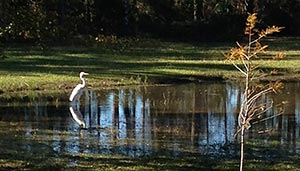 Image of a Crook-necked crane