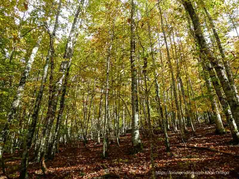 hayas con hojas caídas alrededor en selva de irati repaso anual