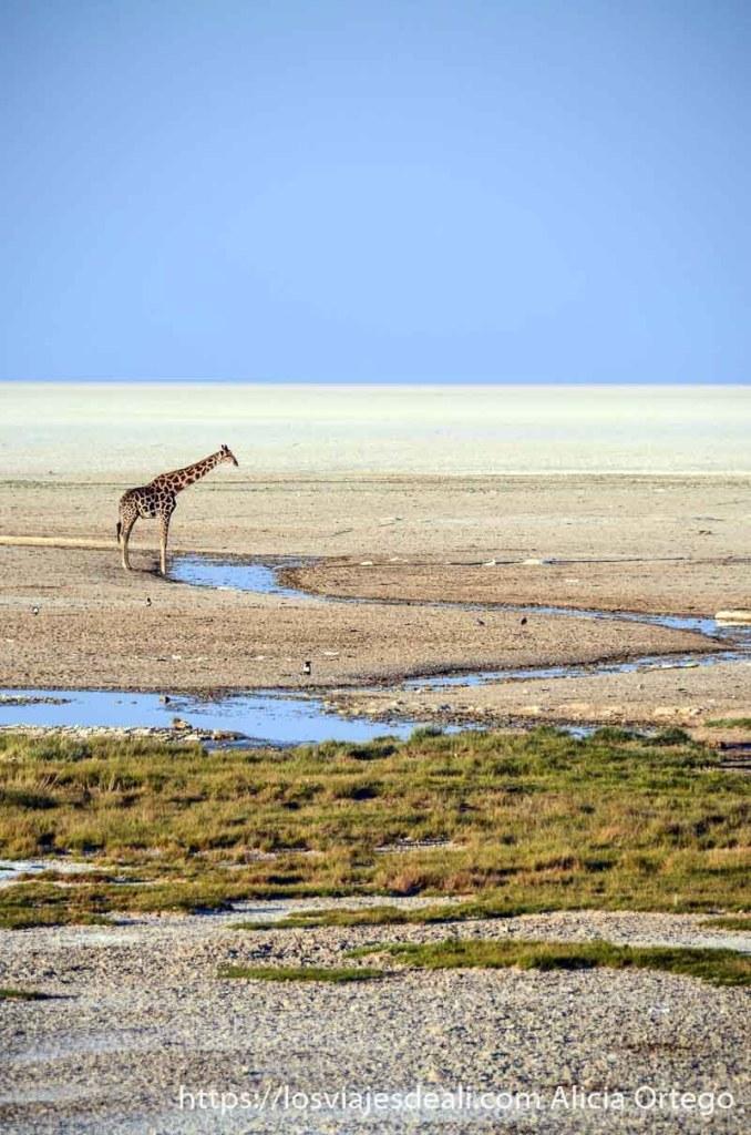 una jirafa junto a riachuelo en prado semiseco y con lago seco blanco al fondo
