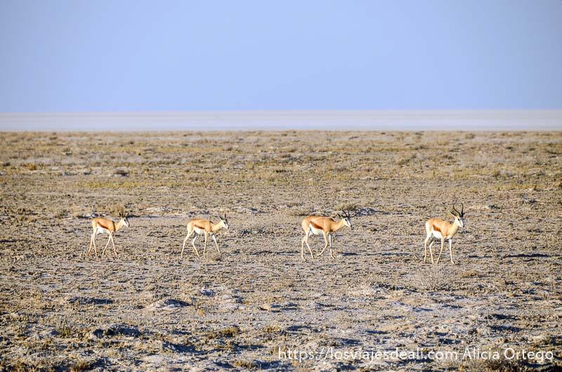cuatro gacelas pequeñas en paisaje árido con cielo muy azul en el parque nacional de etosha