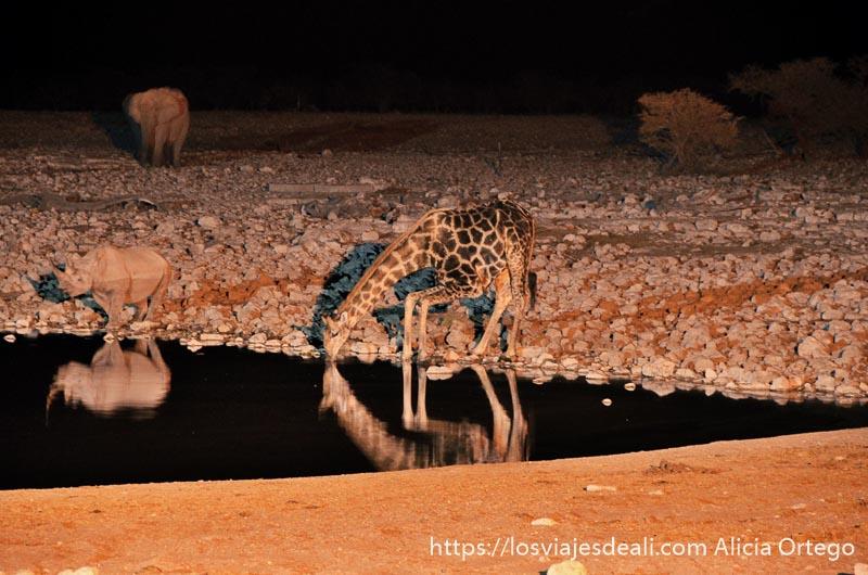 jirafa bebiendo agua junto a rinoceronte por la noche