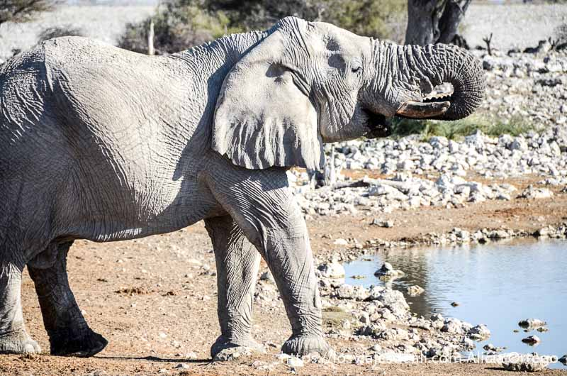 elefante con cabeza alzada y trompa enrollada hacia la boca junto a lago donde bebe en el parque nacional de etosha