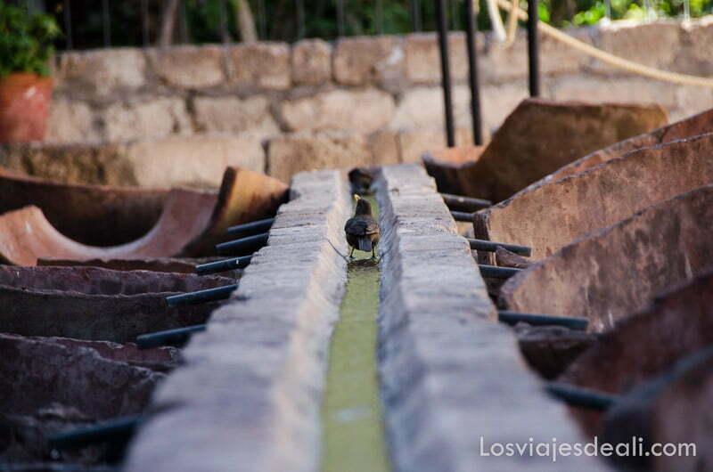pájaro bebiendo agua del canal central del lavadero