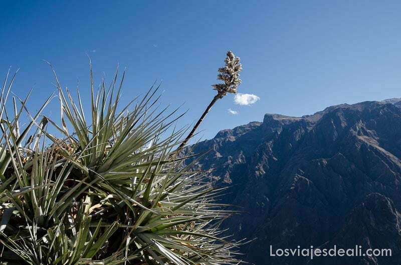 planta tipo suculenta al borde del cañón del colca