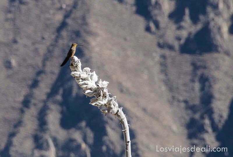 colibrí gigante posado en una flor blanca