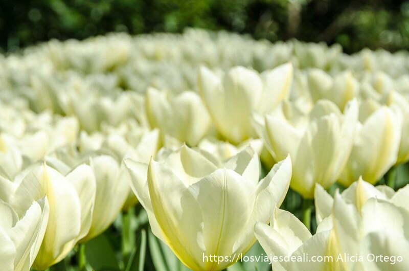 flores de color blanco y amarillo formando como una alfombra