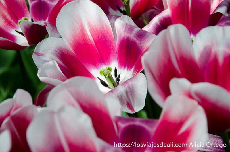flores de color rosa y blanco abiertas y un rayo de sol cayendo en el centro de una de ellas