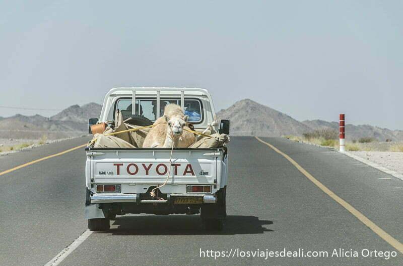 camello sentado en la parte de atrás de una pick up y amarrado con cuerdas en una carretera de omán
