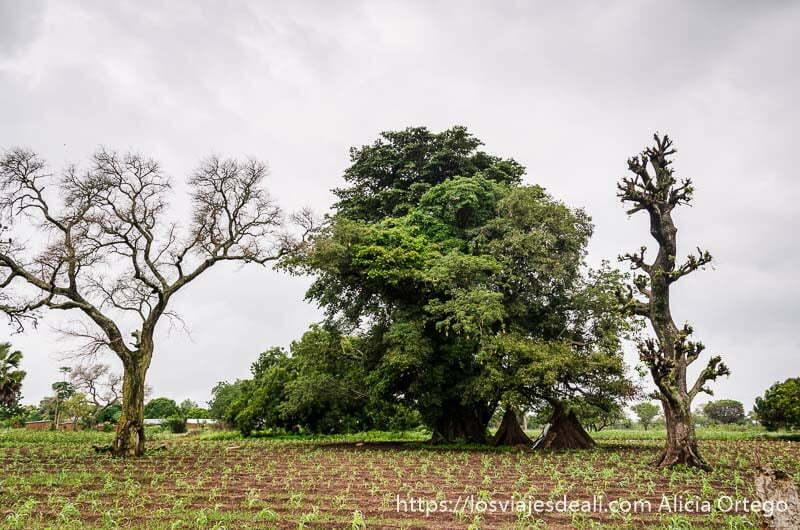 dos árboles casi secos y uno muy frondoso en un campo del país somba tribus de benin