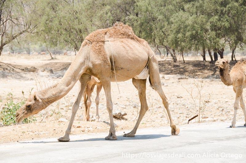 camella con sus hijos andando junto a la carretera visitas que hacer cerca de salalah