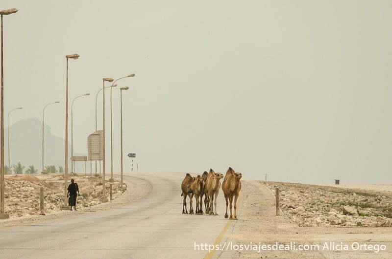 6 o 7 camellos cruzando la carretera junto a la playa visitas que hacer cerca de salalah