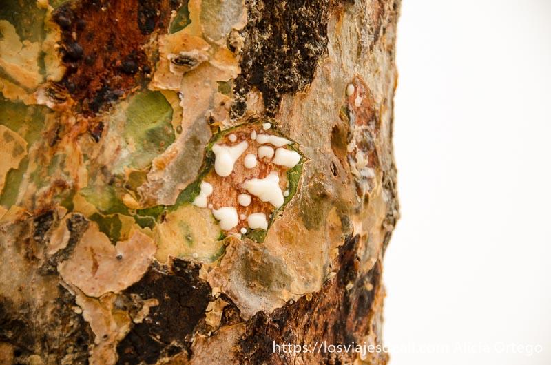 tronco de árbol con gotas de incienso blanco visitas que hacer cerca de salalah