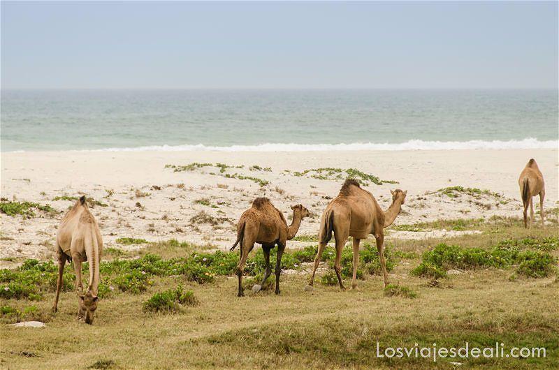 camellos en un playa de omán lugares remotos
