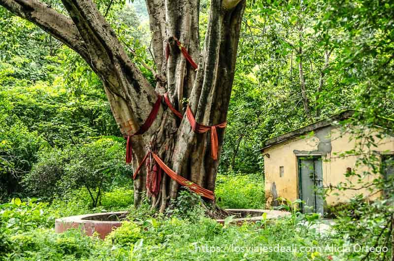 gran árbol con cintas rojas de tela atadas en sus ramas y tronco en rishikesh