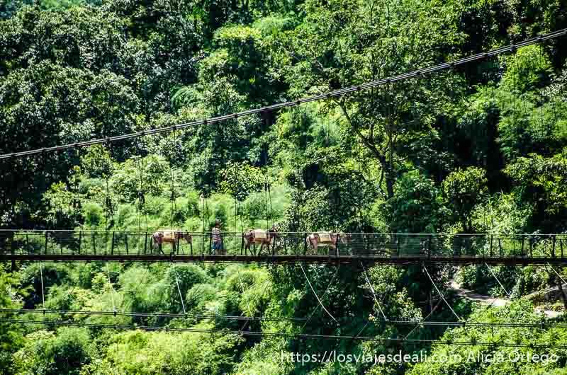 tres mulas cruzando un puente colgante y de fondo la selva en rishikesh