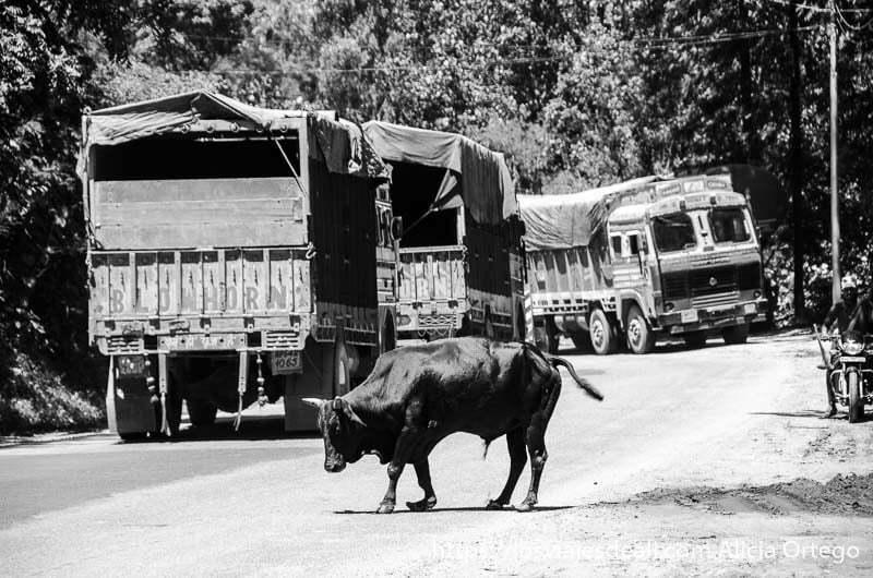 vaca negra cruzando la carretera entre el tráfico de camiones de camino a manali