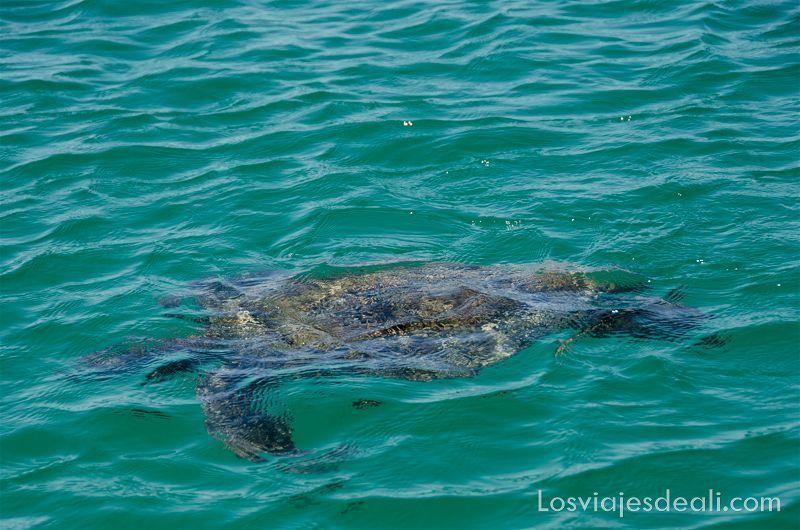 tortuga de islas galápagos
