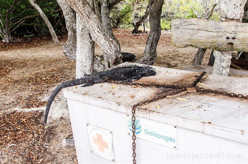viajar a galápagos por tu cuenta iguana