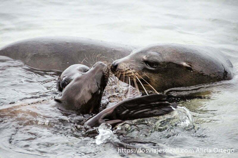una mamá león marino con sus crías en el agua isla san cristóbal