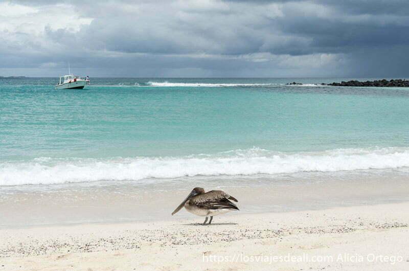pelícano en la playa con mar de color verde turquesa y nubes de tormenta isla san cristóbal galápagos