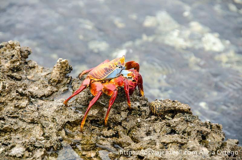 gran cangrejo rojo con tripa azul en isla san cristóbal galápagos