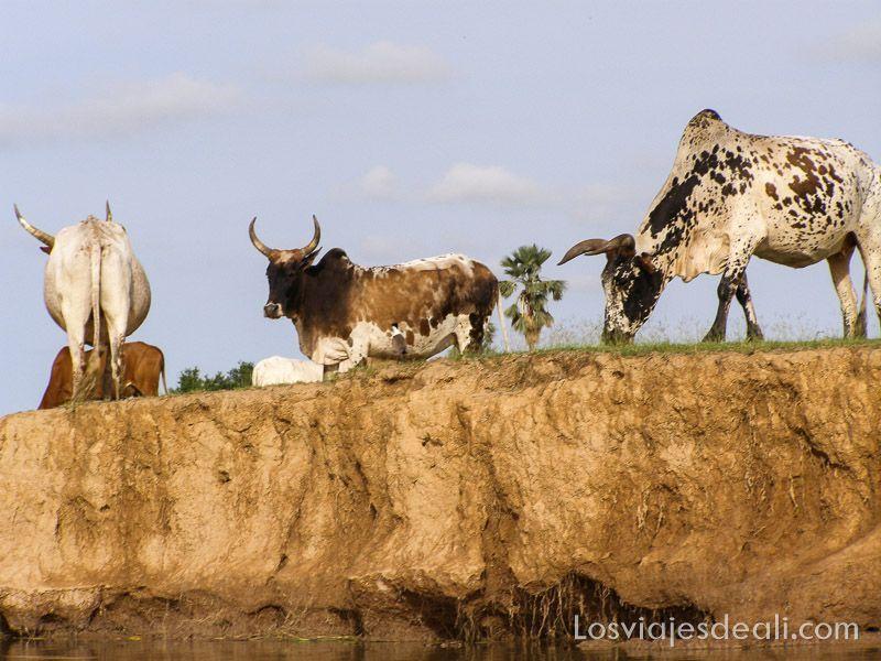 un pueblo del río niger vacas