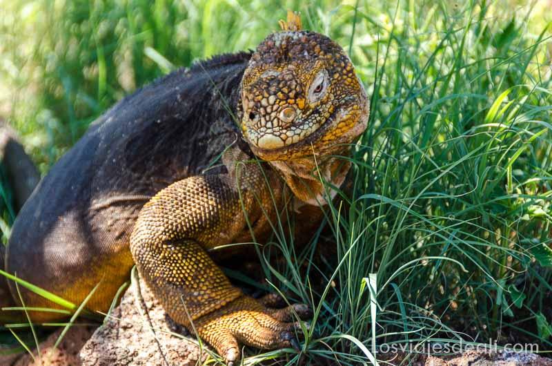 fauna y flora de galapagos iguana amarilla