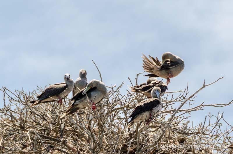 fauna y flora de galapagos piqueros patas rojas