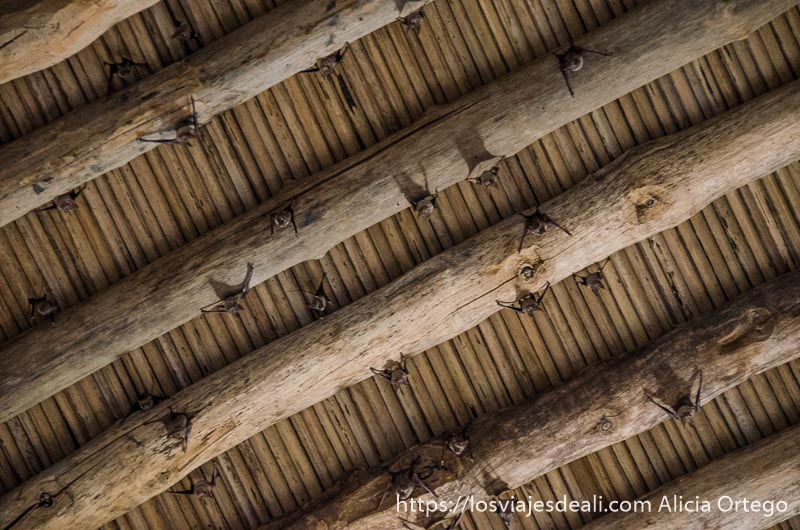 muerciélagos sujetos a las vigas del techo en el fuerte de bahla