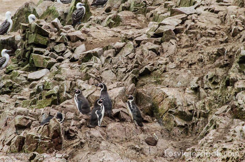pingüinos en islas ballestas