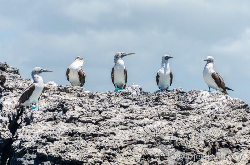 piquero de patas azules en isla isabela